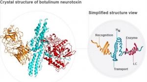 estrutura-da-toxina-botulinica-do-botox-dermato-especialista